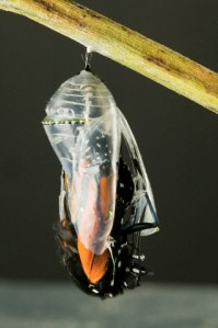 Monarch Butterfly Emerging From a Cocoon