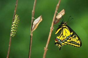 Stages of Butterfly Metamorphosis