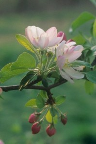 Crabapple blossoms and flower buds, Malus, .