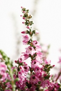 Heather (Calluna vulgaris) close-up