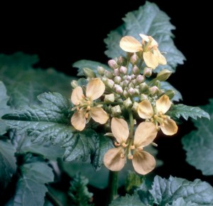 Charlock Mustard (Sinapis arvensis) flowers.