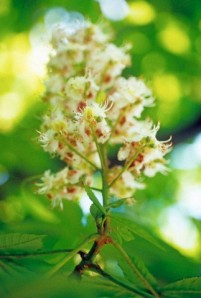 Aesculus hippocastanum, Horse chestnut.