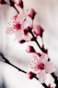 Prunus cerasifera, Cherry Plum