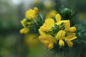 Ulex europaeus, Common gorse