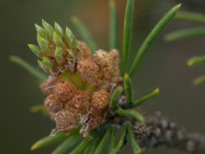 Close-up of Scotch pine (Pinus sylvestris) tips, Sweden