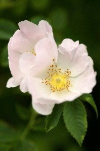 Rosa canina, Dog rose