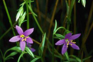 Spring-Loving Centaury Flowers