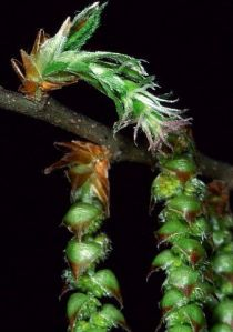 Female Catkins From a Hornbeam