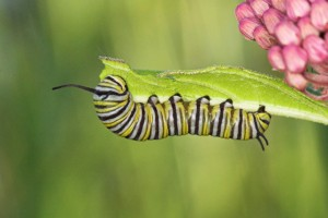 A Monarch Butterfly (Danaus Plexippus) Caterpillar Feeding in Etobicoke, Ontario, Canada.