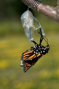Monarch butterfly, Danaus plexippus, in chrysalis newly emerged from chrysalis as a butterfly (undeveloped wings and swollen abdomen). Lake Superior, Ontario, Canada.