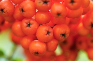 Rowan berries, Sorbus aucuparia, close-up