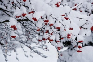 Snow-covered mountain ash (SORBUS AMERICANA) in snowstorm, downtown Fernie, BC, Canada.