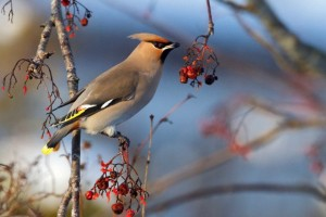 Close-up side shot of Waxwing on branch with berries against blurred background