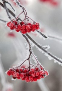 Close-up of frosty rowan berries and branches against blurred background