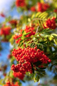 Close-up of autumnal berries on tree