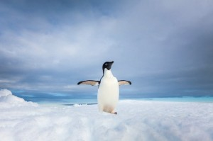 Lone adelie penguin on iceberg