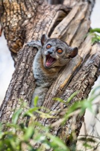 Red-tailed Sportive Lemur (Lepilemur ruficaudatus) in defensive posture in tree cavity, Kirindy Forest, Madagascar