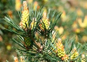 Pine (1)